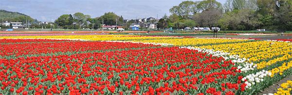 毎年、春に行われる「はむら花と水のまつり(チューリップまつり)」