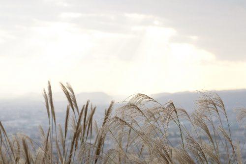 奈良のススキ