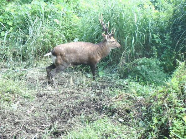 増加する野生シカ(鳥取県提供)