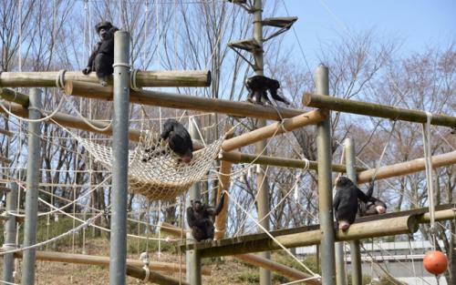 多摩動物公園内のアスレチックで遊ぶ、チンパンジーの群れ