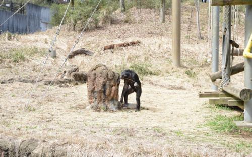 チンパンジー舎で道具を使ってジュースをなめるチンパンジー