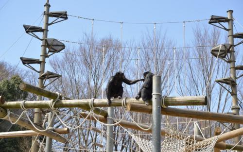 アスレチックの上でコミュニケーションをとる2頭のチンパンジー